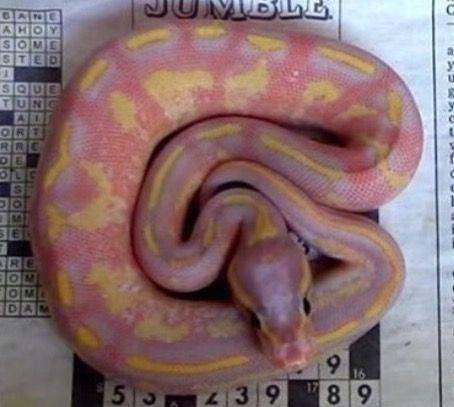 Banana Freeway Ball Python