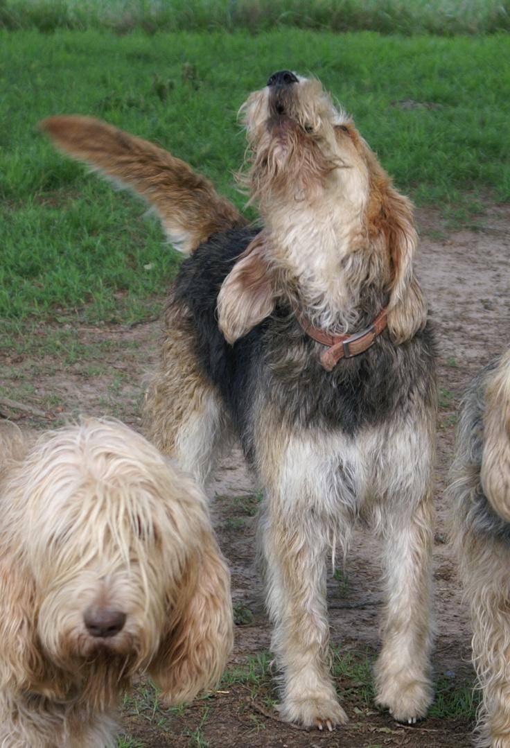 Otterhound. | Dogs Onl...