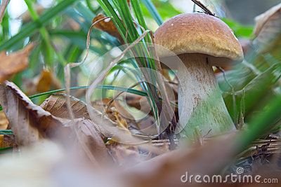 Boletus edulis mushroom in the mixed forest