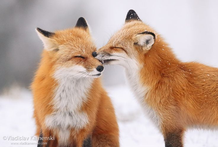 You have something on your nose... Let me clean you:)] 365 days fox marathon Day 267 #365daysfoxmarathon #photography #wildlife