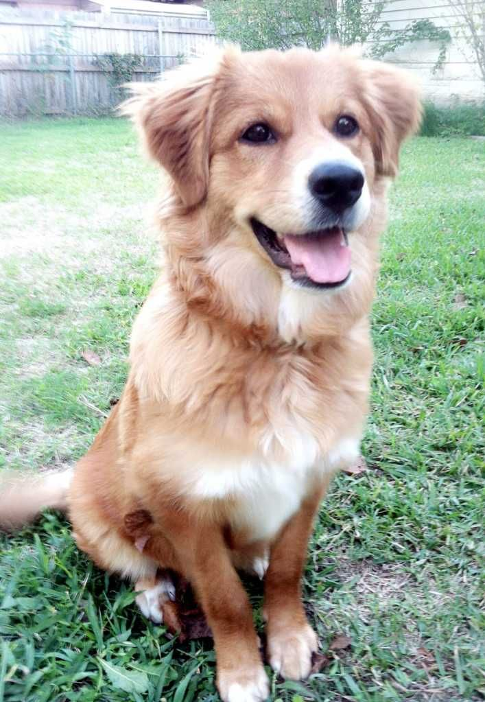 German Shepherd Golden Retriever Mix Golden Retriever Mix Husky
