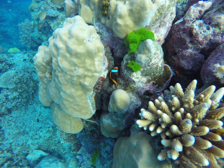 Finding #Nemo #greatbarrierreef #cairns #lovethereef #marineconservation #seeaustralia #thisisqueensland #adventure