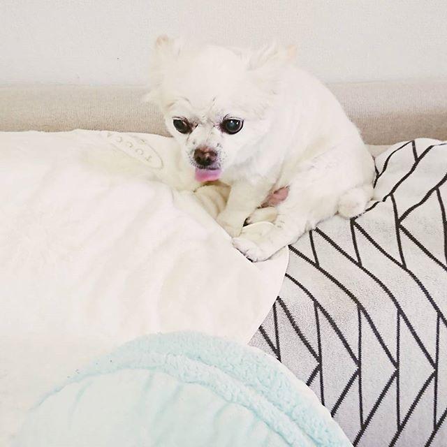 * ソファの上から掃除機の動きを見て‥‥う〰う〰言ってますが よわっちぃ * * #犬#いぬら部#犬のいる暮らし #犬部#犬バカ部#わんこ#愛犬#チワワ#ちわわ#チワワ部#ロンチー#スムチー#シニア犬#でかチワワ#ロングコートチワワ#いぬ #east_dog_japan#wooftoday#inutokyo#dog#doglover#dogstagram #instadog#cutedog#ふわもこ部#chihuahua#癒し #chihuahuafanatics #Pecoいぬ部