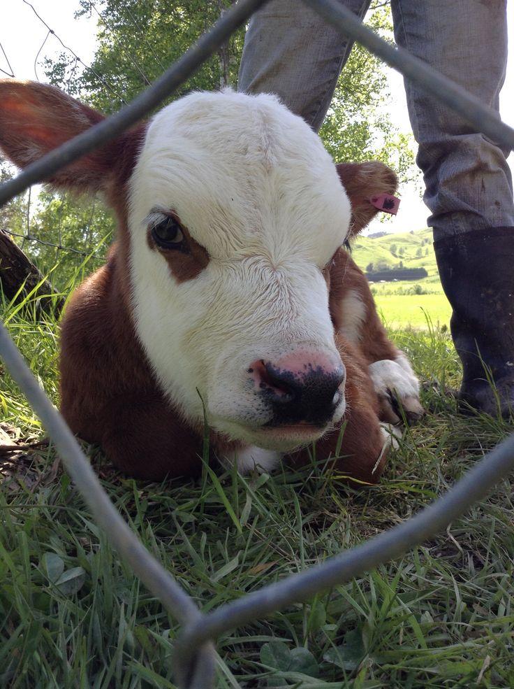 Special calf