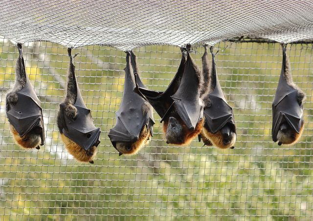 Australia - the Flying Fox bats at Healesville Sanctuary, in Victoria.