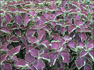 i dont remember the specific pattern but when i was at home depot they had a bunch of coleus that looked nice it definitely leaned towards purple