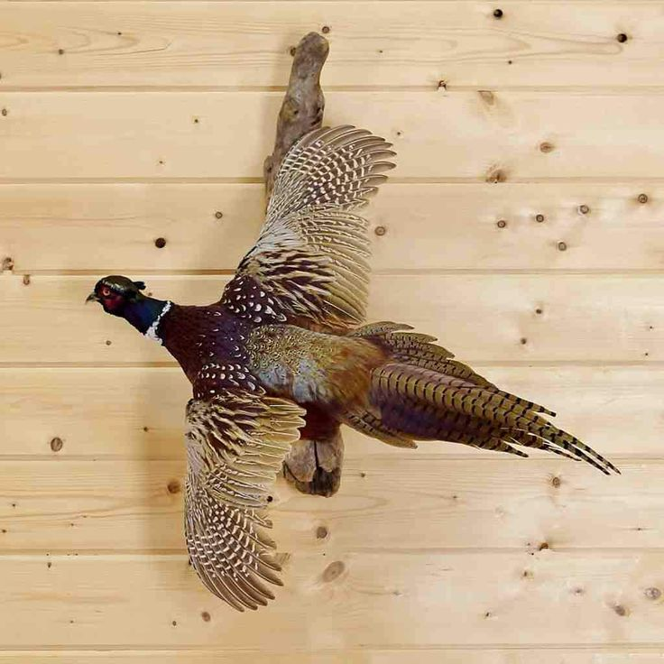 Ringneck Pheasant Taxidermy Mount for Sale- SW4762