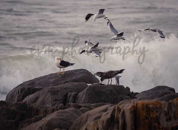 *******DIGITAL INSTANT DOWNLOAD*******  This is an original photograph of a flock of Gulls (both Silver Gulls and Pacific Gulls), taken by EVM
