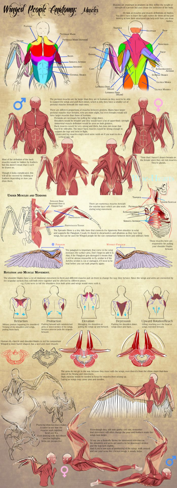 Winged People Anatomy: Muscles by Blue-Hearts