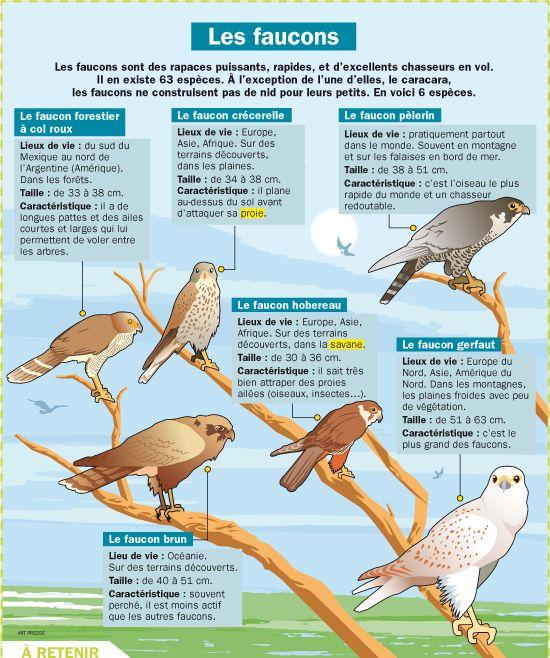 Fiche exposés : Les faucons                                                                                                                                                     Plus