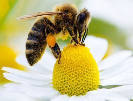 Honey bee collecting nectar--my favorite bug! Although they scare me and I run away if one gets too close!