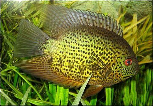 Heros Notatus Spotted Severum Cichlid Cichlids Tropical Fish Aquarium Aquarium Fish