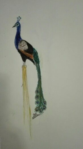Peacock drawing by Caro Botha, Part of the Birds of a Feather series