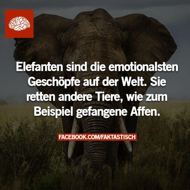 Elefanten sind die emotionalsten Geschöpfe aus der Welt. Sie retten andere Tiere, wie zum Beispiel gefangene Affen.