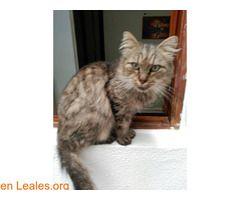 Ceniza  #Adopción #adopta #adoptanocompres #adoptar #LealesOrg  Contacto y info: Pulsar la foto o: https://leales.org/animales-en-adopcion/gatos-en-adopcion/ceniza_i2818 ℹ  Sociable con perros y gatos. Le encantan los mimos. Esta viejita de 10 años la encontraron en el incendio de Tejeda. Su familia nunca apareció y ahora esta buscando alguien que la incluya en la suya por lo que le queda de vida.    Acerca de esta publicación:   Esta publicación NO ha sido creada por Leales.org y NO somos…