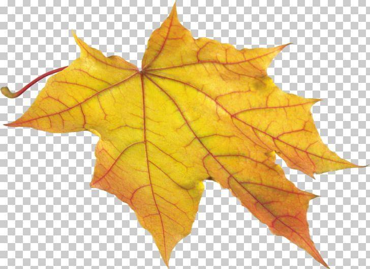 Autumn Leaves Png Autumn Leaves Png Autumn Leaves Maple Leaf Tattoo