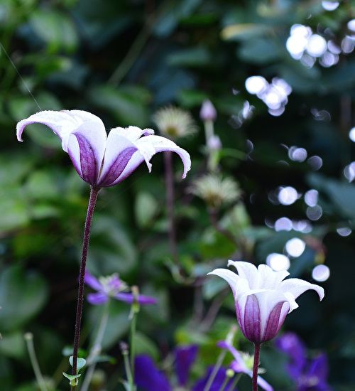 Buy Clematis texensis 'Princess Kate' an upright, trumpet shaped white flowers with purple on the reverse. Pick yours today.