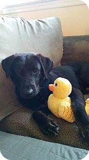 New York, NY - Labrador Retriever Mix. Meet Carlos, a dog for adoption. http://www.adoptapet.com/pet/15844635-new-york-new-york-labrador-retriever-mix