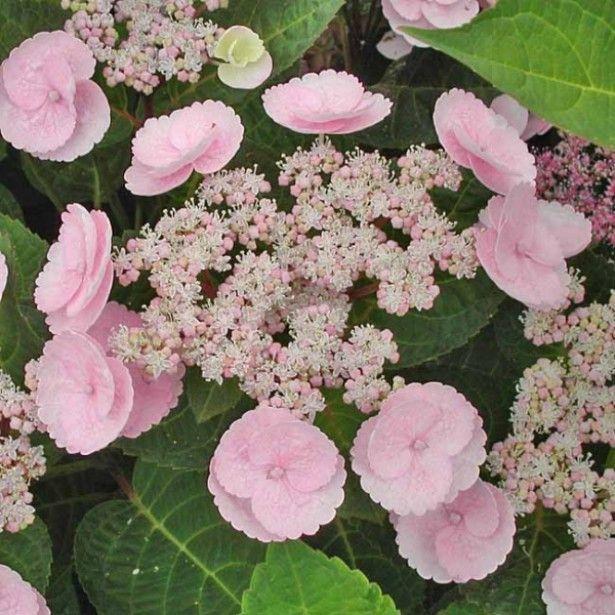 Hortensia - Hydrangea macrophylla Camino