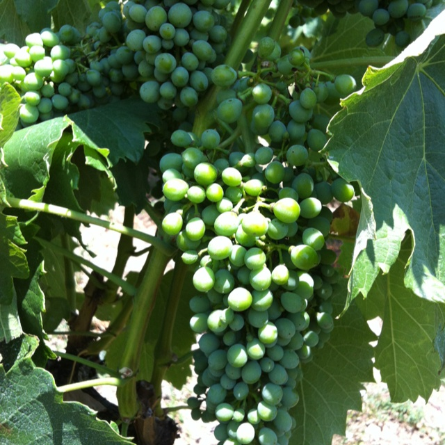 Healthy grapes! Harvest is fast approaching!