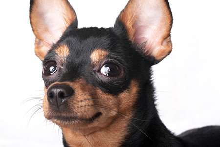 Where Can I Get My Dogs Ears Cropped Uk