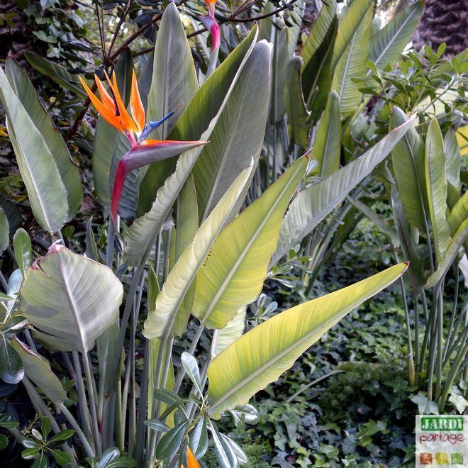Oiseau De Paradis Culture Soins Maladies Tous Les Conseils Pour Les Plantes Vertes Oiseau Du Paradis Plante Paradis