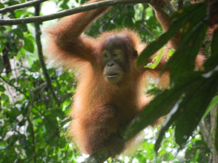 Baby Orangutan Gunung Leuser National Park