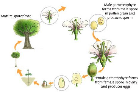 alternation of generations. sporophyte. gametophyte. meiosis. mitosis. haploid. diploid.