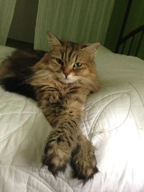 Our Siberian Forest Cat, Ava, looks like this when she is relaxed!