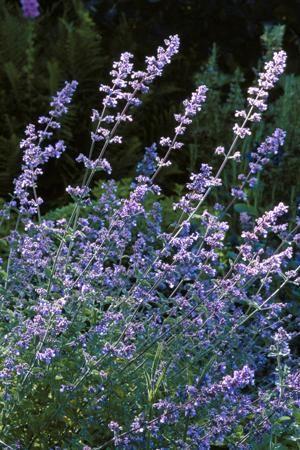Kattenkruid. Nepeta 'Six Hills Giant'  Zon, Hoogte: 50cm, Bloei mei - okt. De meeste soorten kattenkruid staan het best op een zonnige plaats in droge grond. De neiging uiteen te vallen. Het zijn wel woekerende planten die in toom gehouden moeten worden. Snijd de plant elk voorjaar af om hem op zijn plaats te houden. Op de top van zijn bloei in juli kun je de plant afsnijden tot tien centimeter. Dat geeft de plant een tweede bloei en houdt hem beter in vorm.