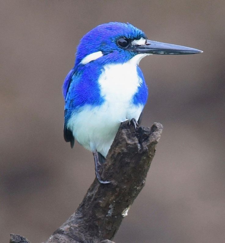 LITTLE KINGFISHER Another true blue Aussie lives northern Australia By Barry Kyme