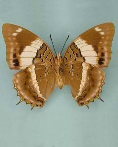 Violet-spotted Charaxes (Charaxes violetta)