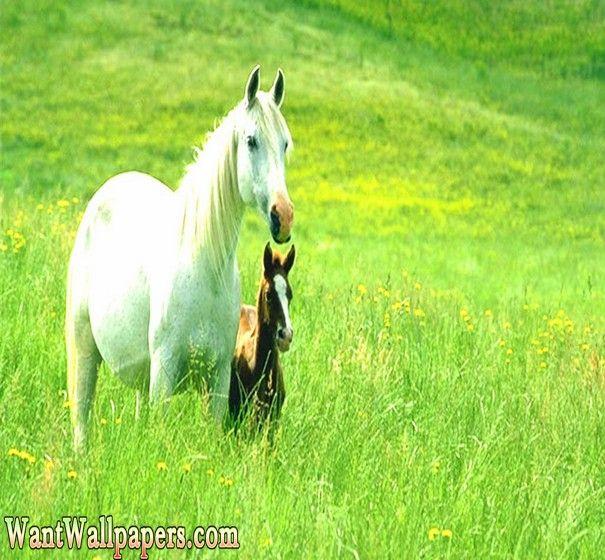 Beautiful Horses Wallpaper,Horse hd Wallpaper,free download animals Wallpaper,horse animal wallpapers