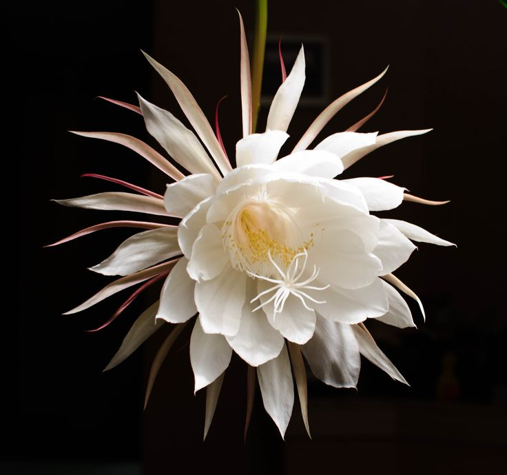 Night blooming cereus from the homeliest of plants comes the 39 princess of the night 39 heavily - Flowers that bloom only at night ...