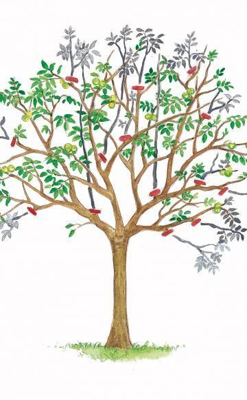Walnussbaum richtig schneiden -  Ein Walnussbaum sollte im Spätsommer geschnitten werden, denn im Frühjahr blutet er stark. So schneiden Sie einen Nussbaum fachgerecht zurück.