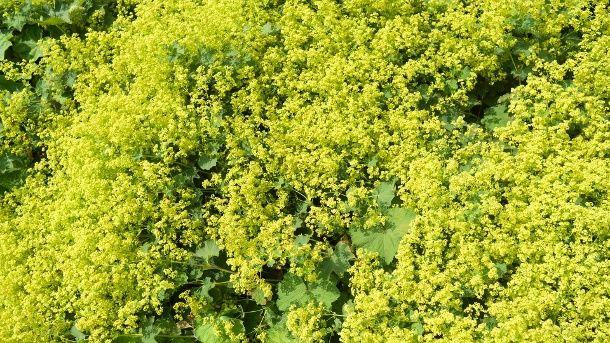 206 best Pflanzen images on Pinterest Decks, Flower beds and - gartenpflanzen winterhart immergrun