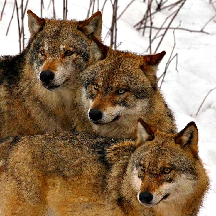 Wolf - Wolfie & Kitty's Primary Spirit Guide !!!