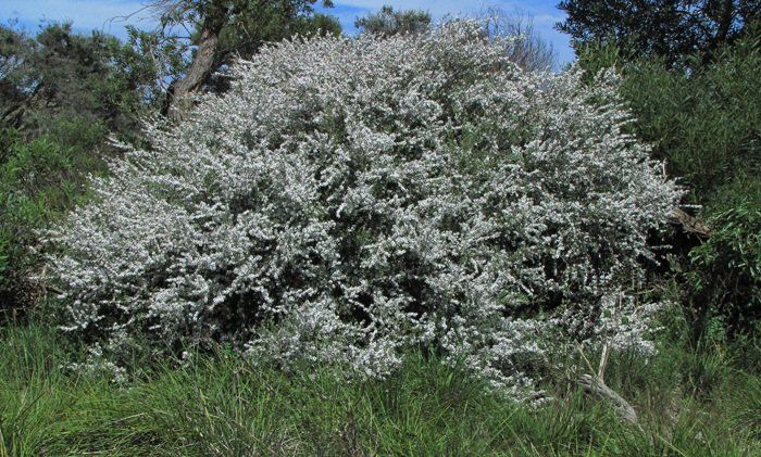 Leptospermum laevigatum Coast Tea tree - as a large loose shrub