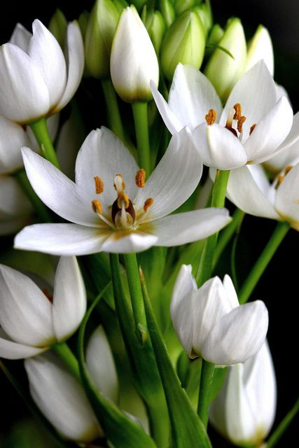 South African flowers: Ornithogalum -- flowers in the Western Cape in Spring