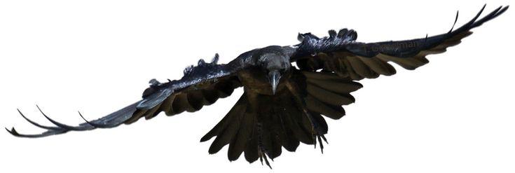 Ravens flying wallpaper - photo#18