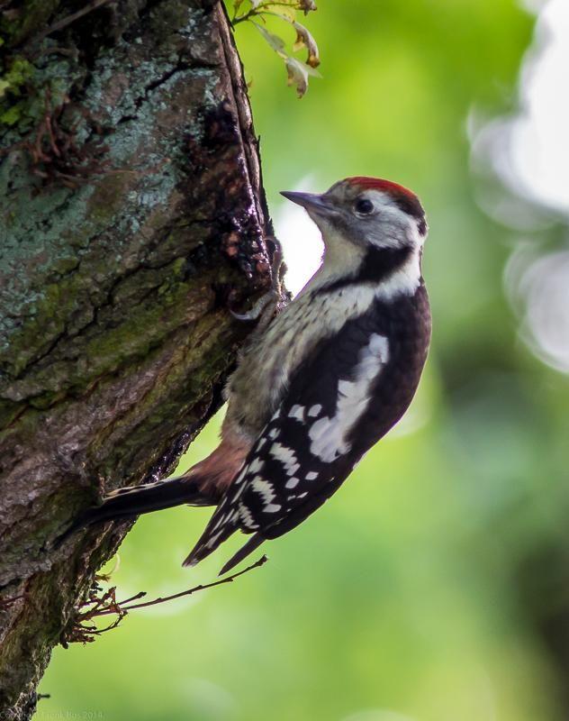 Frank Bos @Doubleton  ·  Jul 17 - Middle Spotted Woodpecker