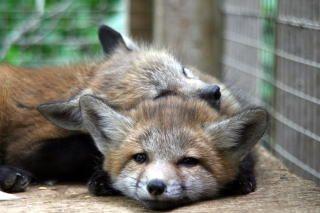 蔵王キツネ村の子ギツネ: 宮城蔵王キツネ村 Miyagi, Zao Fox Village. Japon 可愛いと言ってもイヌ科の肉食獣です。躾けられてると言っても相手は野性動物です。ペットではありません。小さい御子様を連れて行きたいと思っている方は自己責任で(※村のHPに注意書きがあります)。foxy...