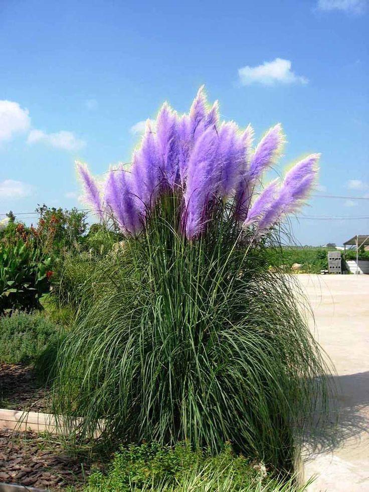 nouveau rare impressionnant violet herbe des pampas graines plantes ornementales fleurs herbe de. Black Bedroom Furniture Sets. Home Design Ideas