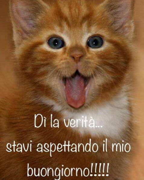 buongiorno divertenti immagini italian memes kittens