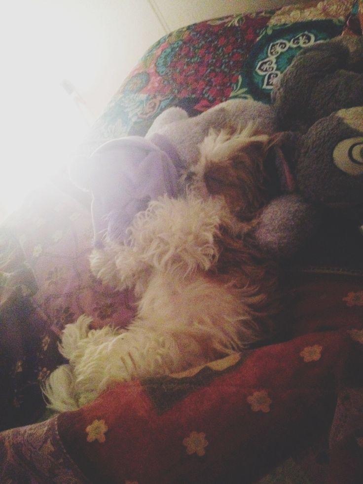 My baby. #shihtzu #puppy