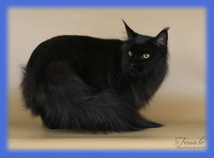 Maine Coon, Black solid (n). Grand International Premior  Chamberlain Hunter's Moon.