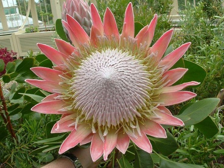 M s de 25 ideas incre bles sobre flores ex ticas en for Jardin rosa alcoy