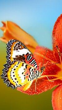 Motyl na pomarańczowym liliowcu