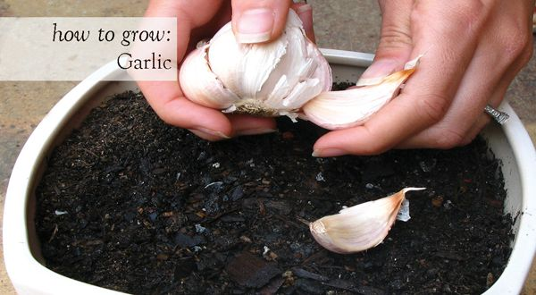 A clove or two of garlic will give an exciting new dimension to even the most humble of home cooked meals. What's more, it's so easy to grow. Here's how to produce this highly nutritious and versatile herb in your own garden. #edible #garlic #organic www.aboutthegarden.com.au