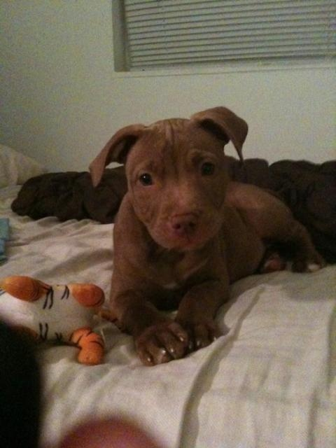 Looks like my Bella when she was a pup.